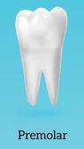 دندان پرمولر